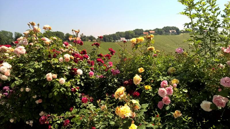 Über 900 verschiedene Rosen blühen im Juni im Garten von Renate Polz (Foto Hedi Grager)