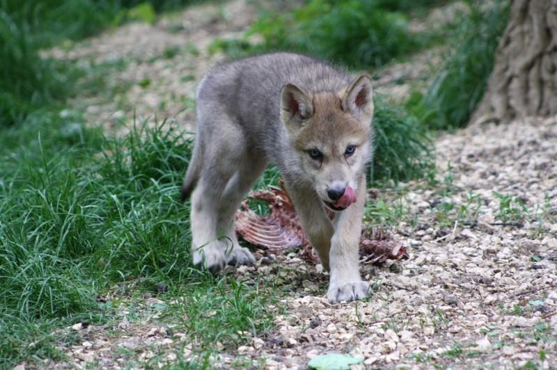 Die süßen kleinen Wölfe kommen im Alter von 10 Tagen ins Wolf Science Center. Hier Amarok (Foto Wolf Science Center)