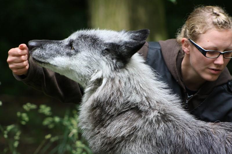 Tiertrainerin Marleen Hentrup erklärt, dass Wölfe und Hunde täglich trainiert werden (Foto Manfred Staniek)