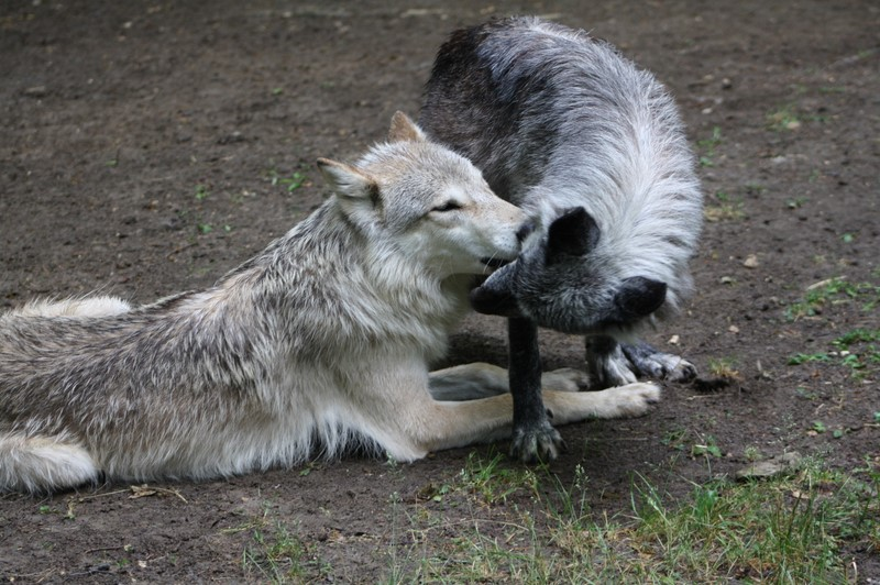 Wolf Science Center: Chitto und Shima im liebenvollen Spiel (Foto Manfred Staniek)