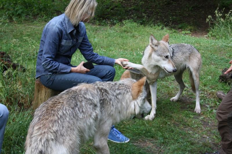 """Wölfe entscheiden selbst, ob der Mensch den Kontakt mit ihnen """"verdient"""" hat (Foto Manfred Staniek)"""