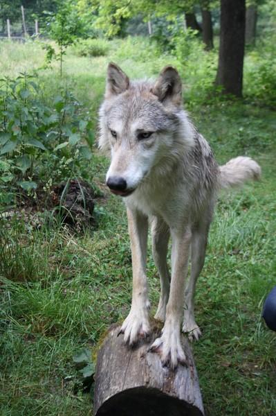 Wolf Science Center: Tala ist eine sehr schöne Wölfin (Foto Manfred Staniek)
