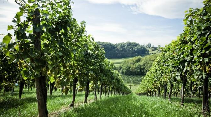"""Weingut Muster gewinnt """"oaked Sauvignon"""""""