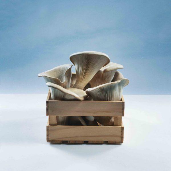 """Das innovative Unternehmen """"Pilzkiste"""" hat sich auf die Produktion und Weiterverarbeitung von auf Kaffeesatz gezogenen Austernpilzen spezialisiert. Im Rahmen der Ausstrahlung von""""2 Minuten 2 Millionen"""" auf PULS 4 am 19. März 2019 um 20.15 Uhr gibt es nur für kurze Zeit zum besonders günstigen Preis zwei tolle Pakete online auf www.pilzkiste.at zu kaufen. Da heißt es: schnell zugreifen! (Foto Pilzkiste)"""